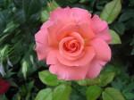 rose as metaphor