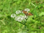 butterfly on cowparsley