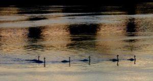 swans at Berwick-upon-Tweed
