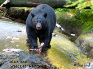 black bear, Spirit Bear Lodge, Great Bear Rainforest, BC