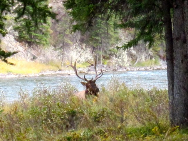 elk, Banff, Canada